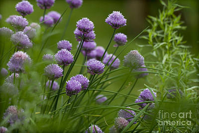 Photograph - Herb Garden. by Clare Bambers