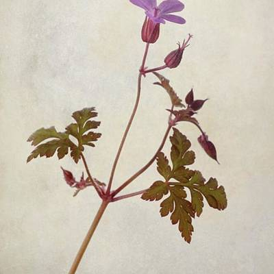 Green Wall Art - Photograph - Herb Robert - Wild Geranium  #flower by John Edwards