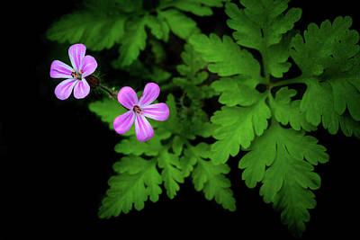 Photograph - Herb Robert by Carolyn Derstine