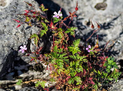 Photograph - Herb Robert Flowers by Les Palenik