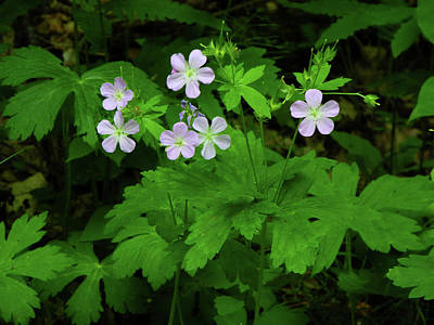 Photograph - Herb Robert On The Ma At by Raymond Salani III