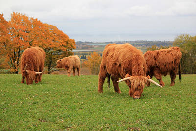 Photograph - Herd Of Beautiful Highland Cows by Elenarts - Elena Duvernay photo