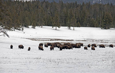 Photograph - Herd Of Bison by Cindy Murphy - NightVisions