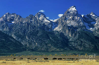 Photograph - Herd Of Bison Teton Range Grand Tetons National Park Wyoming by Dave Welling