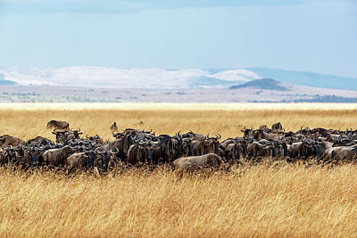 Photograph - Herd Of Buffalo In Tall Kenya Grass by Susan Schmitz