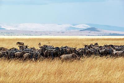 Photograph - Herd Of Buffalo In Tall Kenya Grass by Susan Schmitz