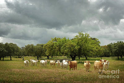 Photograph - Herd Of Cows by Carlos Caetano