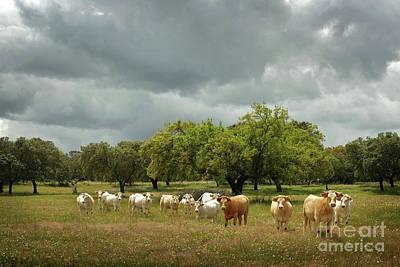 Pasture Scenes Photograph - Herd Of Cows by Carlos Caetano