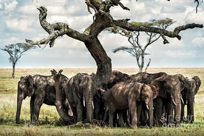 Photograph - Herd Of Elephants Under A Tree In Serengeti by RicardMN Photography