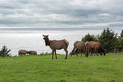 Photograph - Herd Of Elk At Ecola State Park by David Gn
