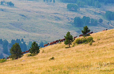 Photograph - Herd Of Elk by Steve Krull