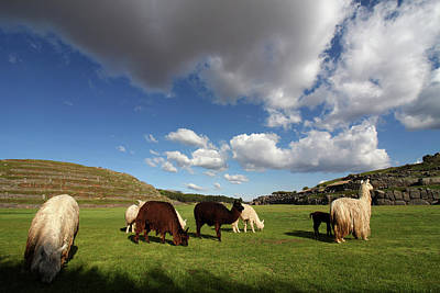 Photograph - Herd Of Llamas At Saqsaywaman Ruin, Peru by Aidan Moran