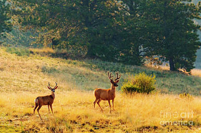 Photograph - Herd Of Mule Deer Bucks by Steve Krull