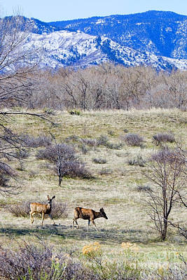 Steven Krull Royalty-Free and Rights-Managed Images - Herd of Mule Deer Grazing at Chatfield by Steven Krull