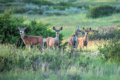 Mule Deer Herd Photograph - Herd Of Muleys by Todd Klassy