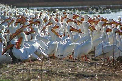 Herd Of Pelicans Print by Shari Morehead
