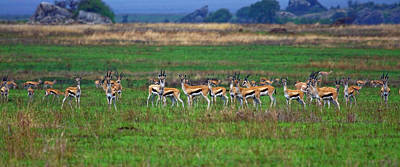 Photograph - Herd Of Thomson's Gazelles by Sally Weigand