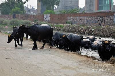 Photograph - Herd Of Water Buffaloes Emerges From Canal Lahore Pakistan by Imran Ahmed