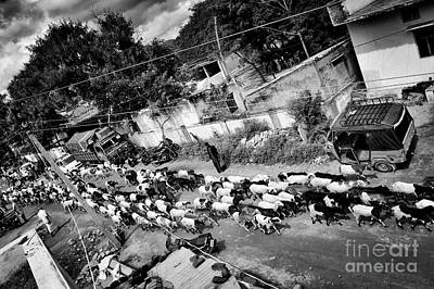 Photograph - Herding Goats by Tim Gainey