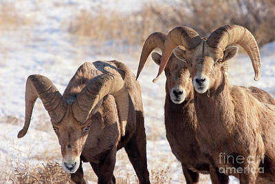 Bighorn Sheep Photograph - Here Come The Boys by Mike Dawson