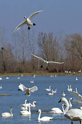 Tundra Swan Photograph - Here Come The Swans by Bill Lindsay