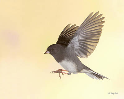 Photograph - Here Comes Jimmy Junco by Gerry Sibell