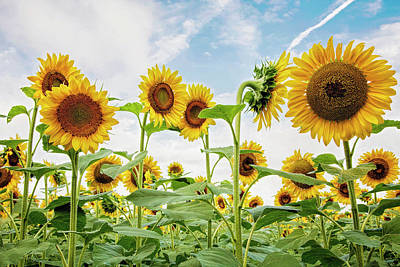 Here Comes The Sunflowers Print by Pat Eisenberger