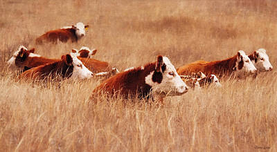 Photograph - Hereford Cattle by Anna Louise