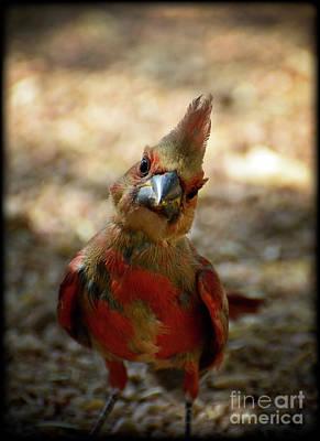 Cardinals. Wildlife. Nature Photograph - Here's Looking At Ya by Saija  Lehtonen