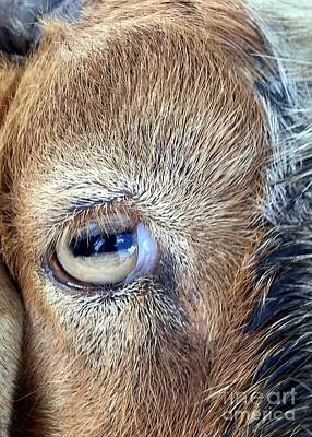 Photograph - Here's Looking At You Kid - The Truth About Goats' Eyes by Barbie Corbett-Newmin