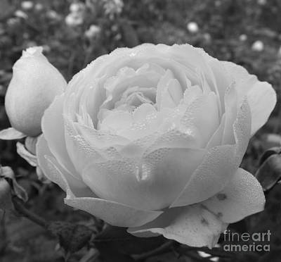Photograph - Heritage Rose by Sara Raber