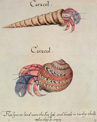 Hermit Crab Painting - Hermit Crab by John White