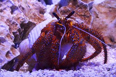 Photograph - Hermit Crab by Kathryn Meyer