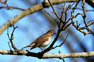 Photograph - Hermit Thrush by Debbie Oppermann