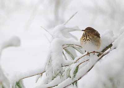 Photograph - Hermit Thrush In Snow by Daniel Reed