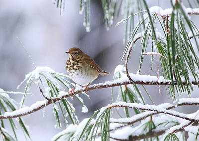 Photograph - Hermit Thrush In Snowy Pine by Daniel Reed