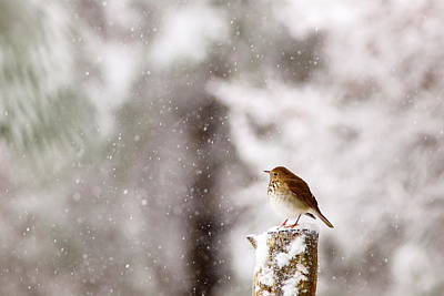 Photograph - Hermit Thrush On Post In Snow by Daniel Reed