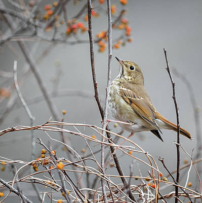 Song Bird Photograph - Hermit Thrush Square 2017 by Bill Wakeley