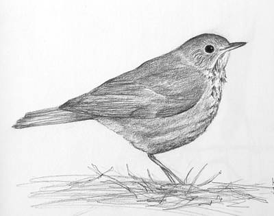 Susan Conner Drawing - Hermit Thrush by Susan Conner