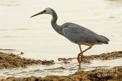 Photograph - Heron 10 by Werner Padarin
