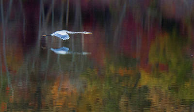Photograph - Heron 2 by Carlee Ojeda