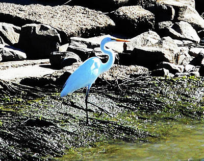 Photograph - Heron 3 by Ron Kandt