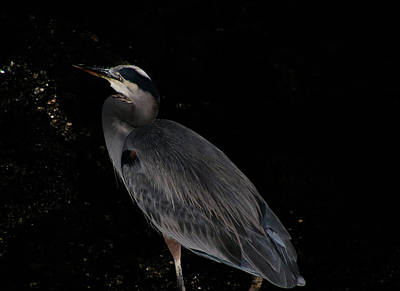 Photograph - Heron At Night by Perggals - Stacey Turner