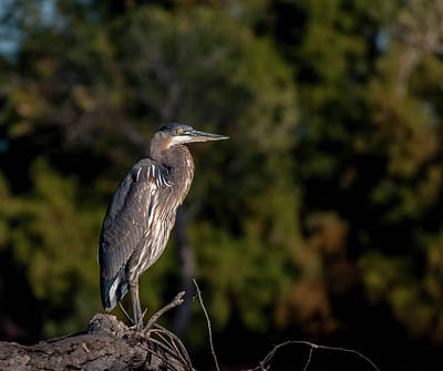 Photograph - Heron At Sunrise by Martina Thompson