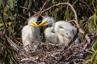 Heron Babies In Their Nest Art Print