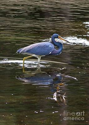 Photograph - Tricolored Heron Wading Through Marsh by Carol Groenen