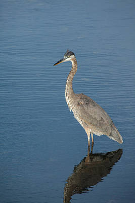 Photograph - Heron Beauty by Karol Livote
