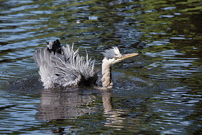 Photograph - Heron Bird Bath by Keith Boone