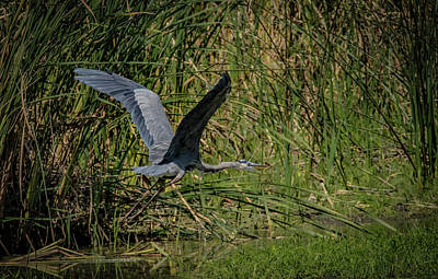 Photograph - Heron Blue by Ray Congrove