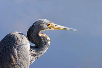 Cranes Photograph - Heron Blues by Mike  Dawson